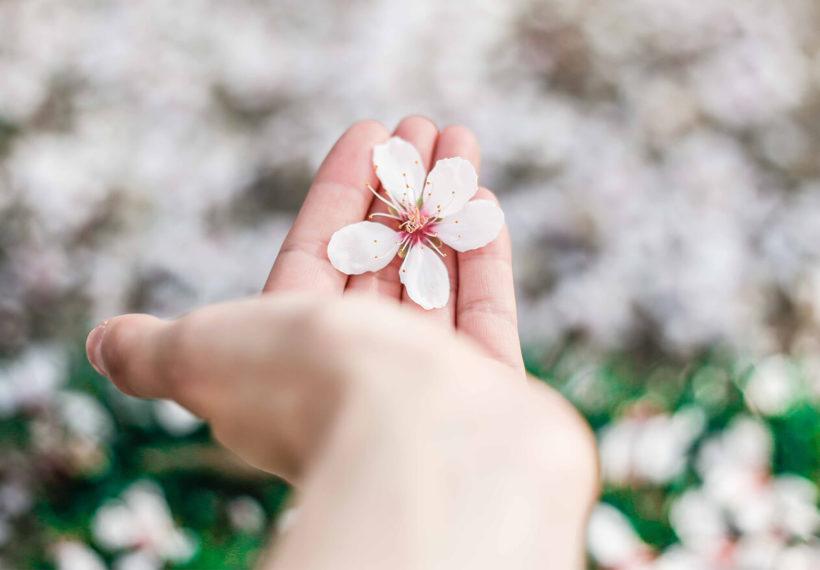 手のひらの上の桜の花